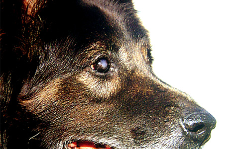 causas de ojos rojos en perros