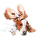 Limpiando con gotas los oidos de un perro