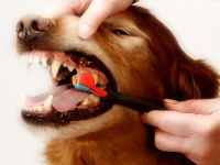 Cepillando los dientes de un Perro