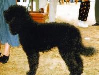 Barbet ( Perro de agua Frances )