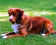 Perro Cobrador de la Nueva Escocia
