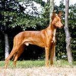 Perro de los Faraones, anubis dog