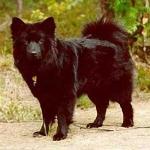 Perro Sueco de Laponia