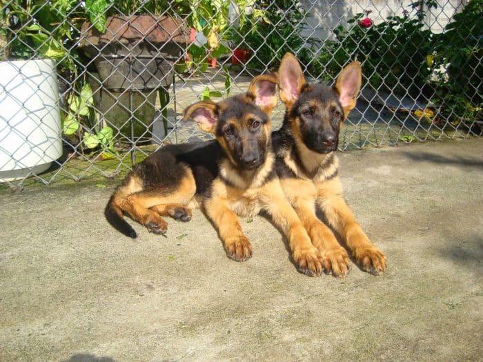 2 cachorros pastor aleman descansando en el patio