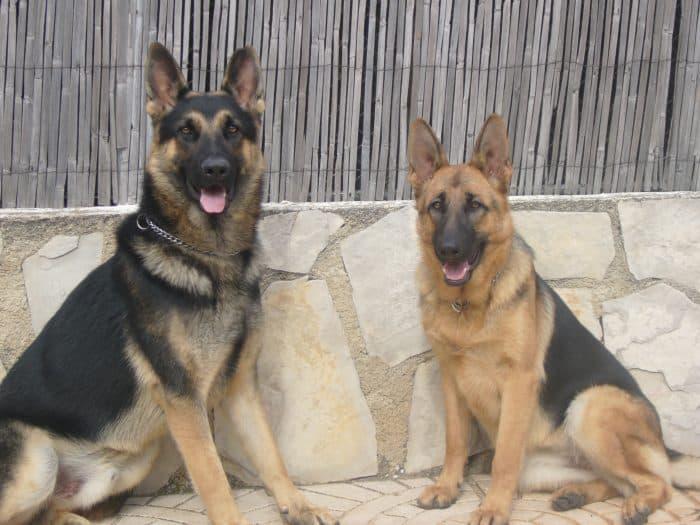2 pastores alemanes sentados frente a un muro