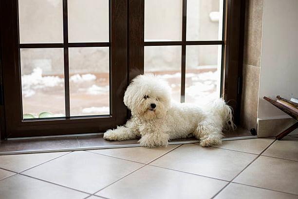 bichón frisé esperando junto a una puerta con vidrios