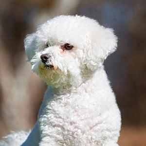 Todo sobre el perro Bichón Frisé: Características, fotos, cachorros, criaderos, precios, cuidados y mucho más