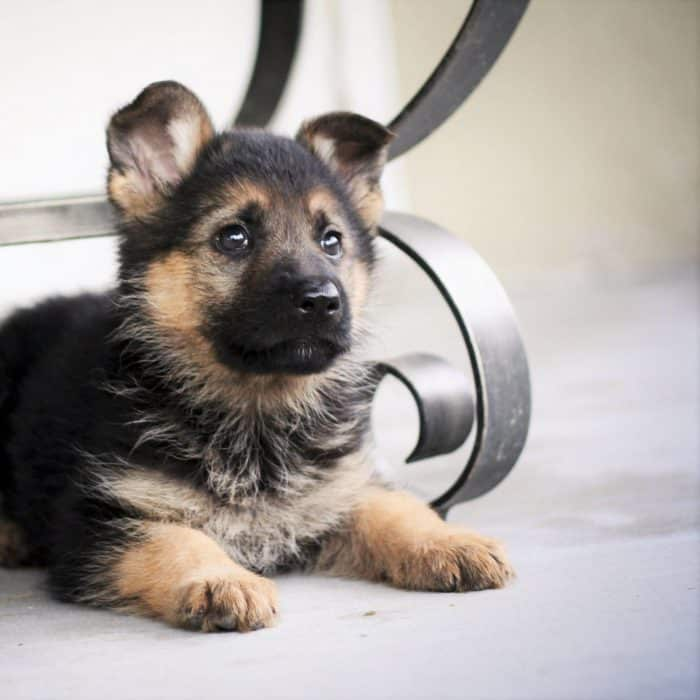 cachorro pastor aleman descansando atento bajo una mesa
