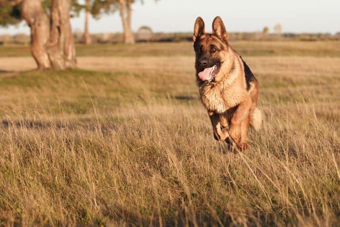 pastor alemán corriendo en una llanura