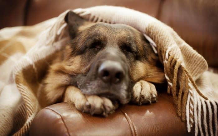 pastor aleman durmiendo en un sillón