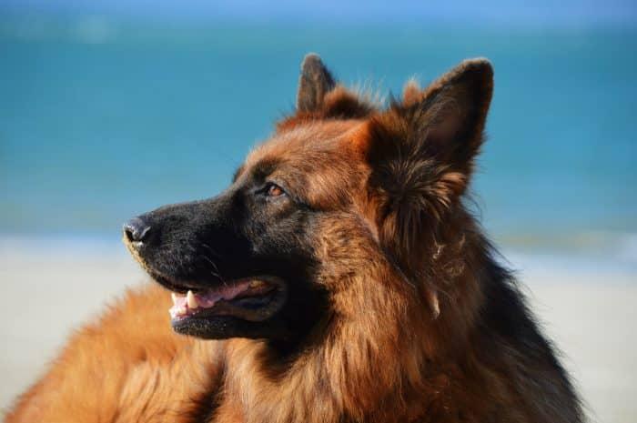 pastor alemán en la playa