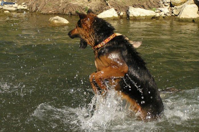 pastor aleman jugando en la orilla de un río
