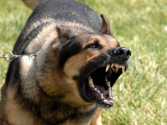 pastor alemán ladrando agresivamente