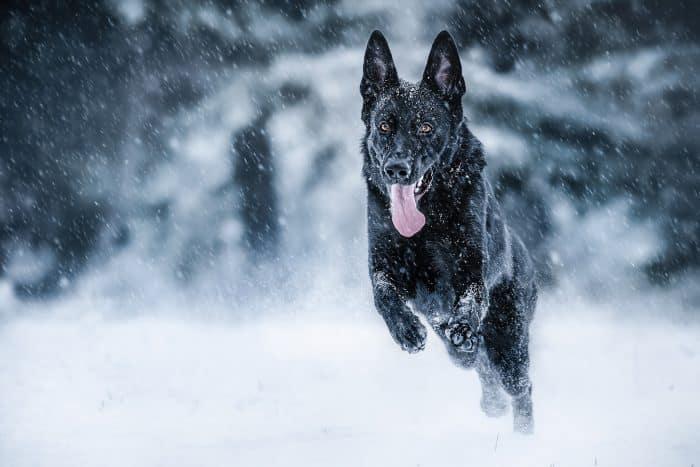 pastor aleman negro corriendo en la nieve