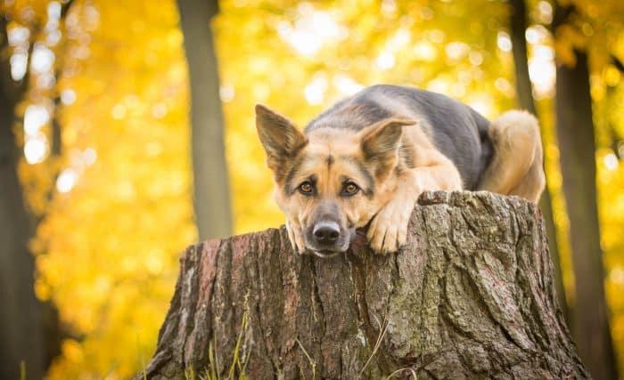 pastor alemán observando sobre un tronco