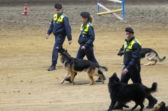 pastores alemanes entrenando para unirse a la policía y fuerzas de seguridad