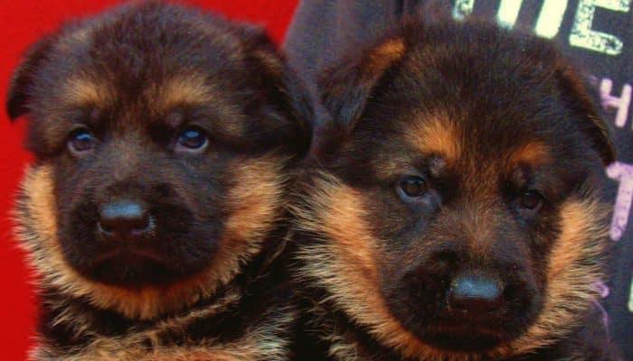 retrato de 2 pequeños pastores alemanes