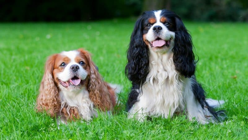 2 cavalier king charles spaniel de distinto color