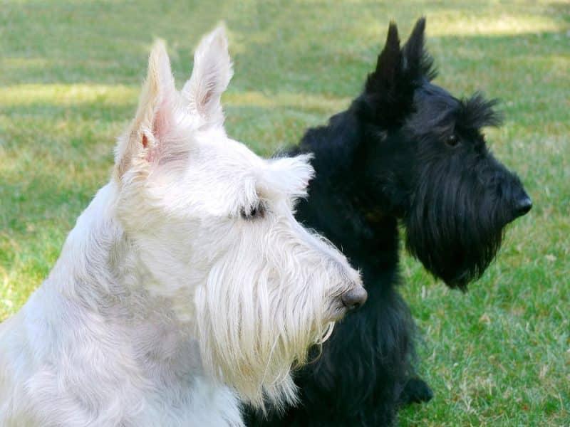 2 terrier escoces blanco negro