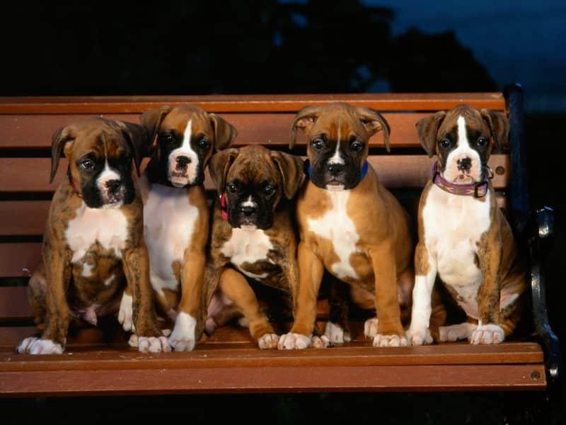 5 cachorros bóxer alemán sobre una banca