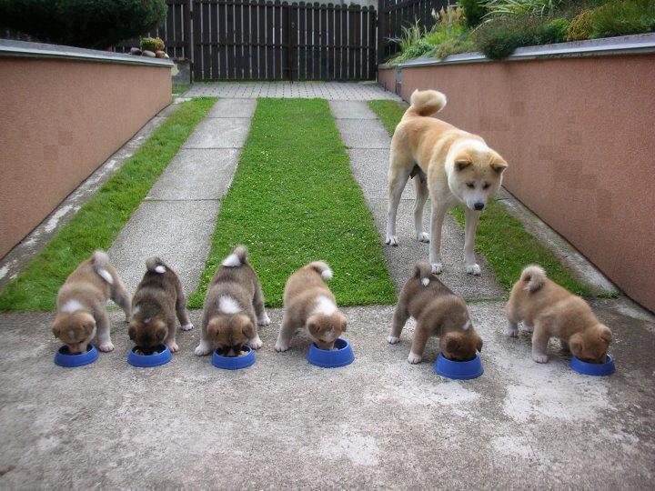 Akita Inu controlando que sus cachorros se alimenten bien