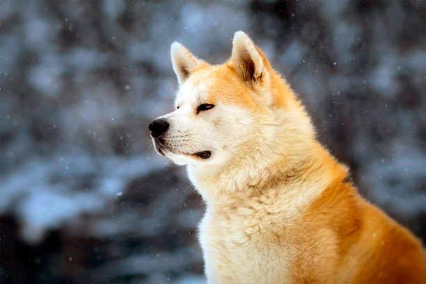 akita inu observando la inmensidad en invierno