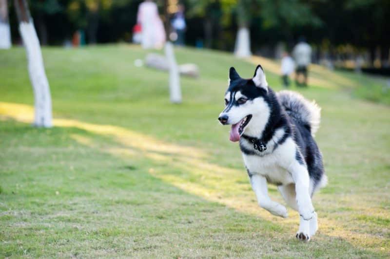 Alaskan Malamute corriendo en un parque