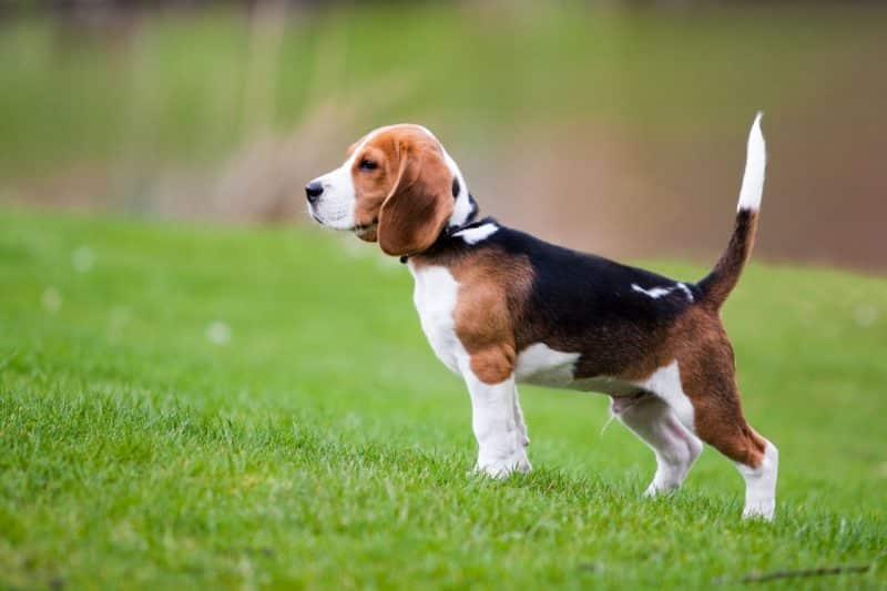 perro Beagle americano