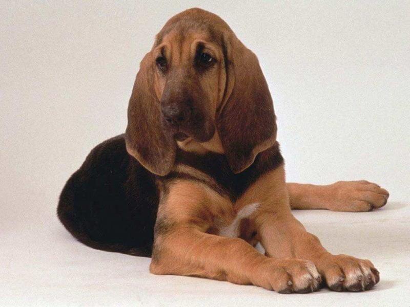 perro beagle ingles