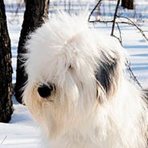Bobtail (Antiguo perro pastor ingles)
