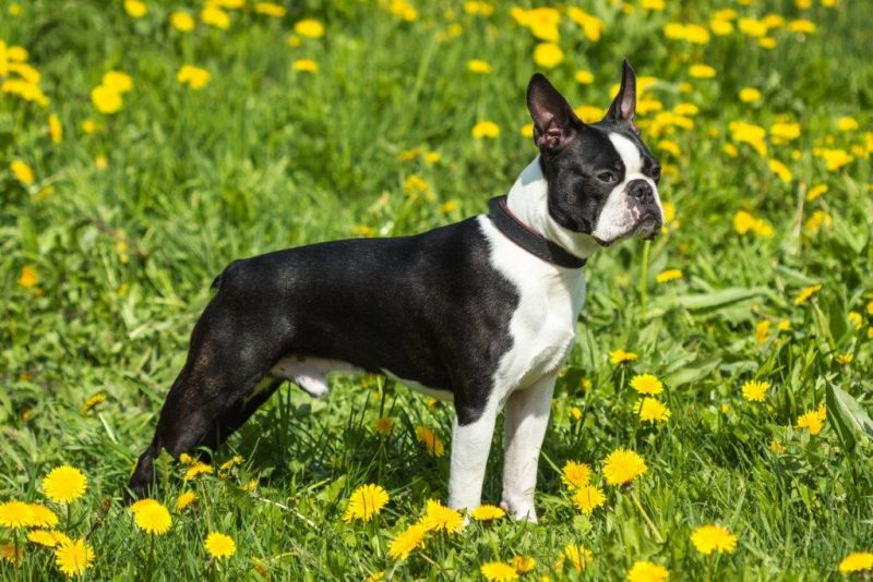 Boston Terrier en medio de hierba florida