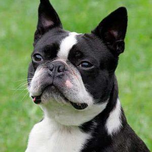Todo sobre el Perro Boston Terrier: Fotos, características, cuidados, enfermedades, criaderos, precios y mucho más