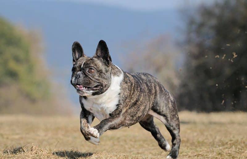 Bulldog Frances corriendo sobre hierba