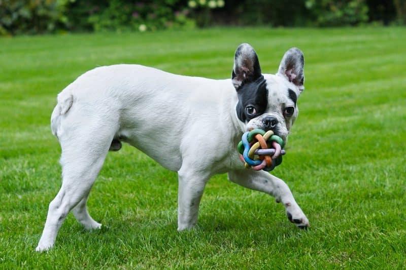 bulldog frances jugando en el césped