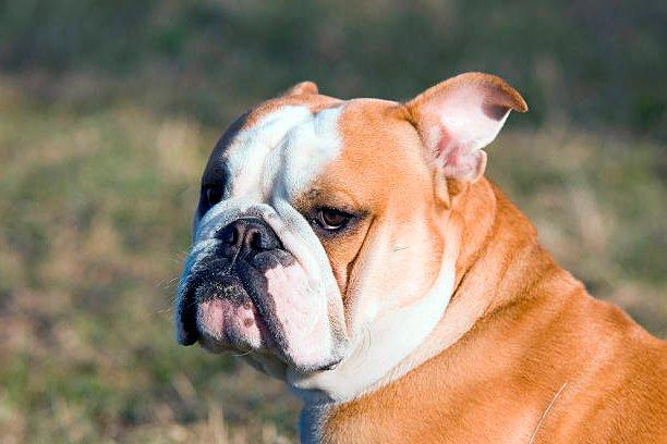 bulldog ingles observando la inmensidad