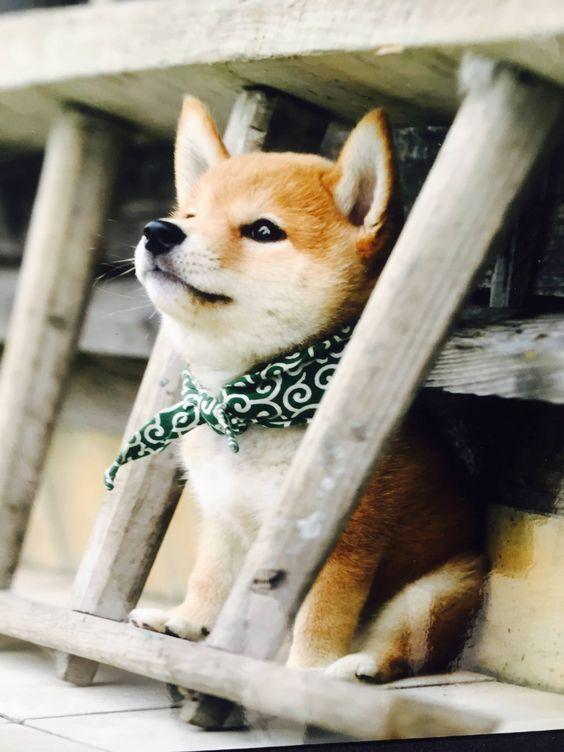 cachorro Akita Inu con pañoleta