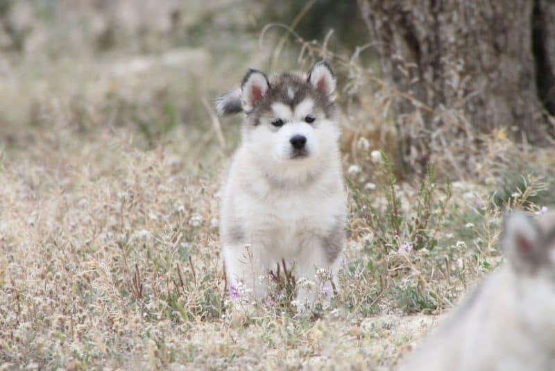 cachorro alaskan malamute de paseo en el bosque
