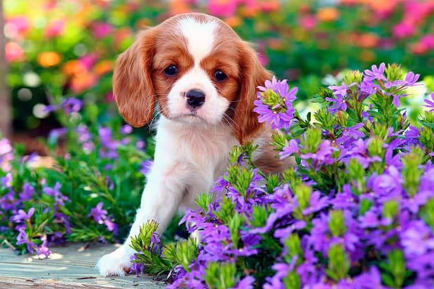 cachorro cavalier king charles spaniel