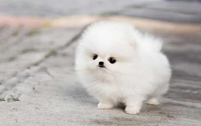 cachorro pomerania de pelo blanco