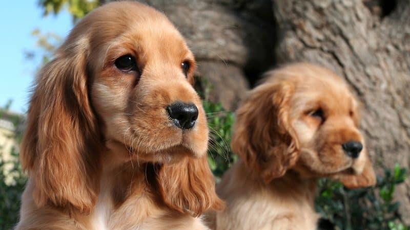 cachorro y madre cavalier king charles espaniel castanos