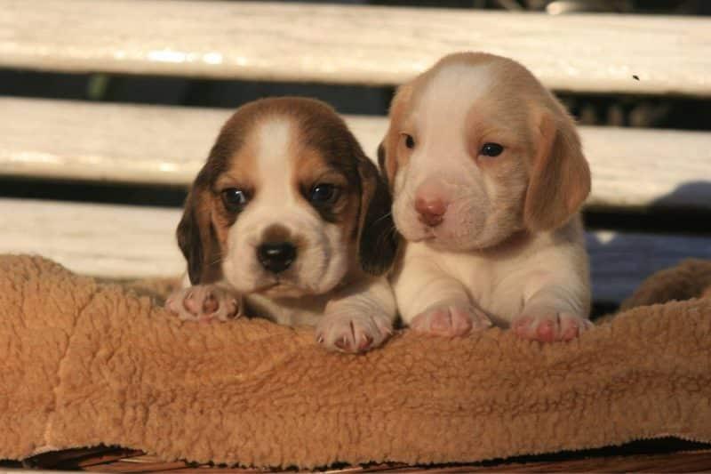 cachorros del Beagle