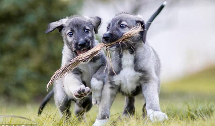 cachorros del lobero irlandés