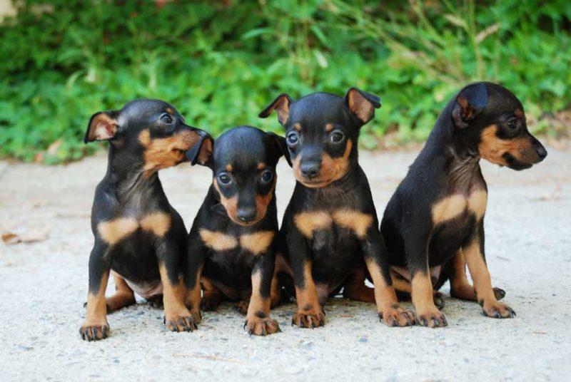 cachorros del pinscher miniatura