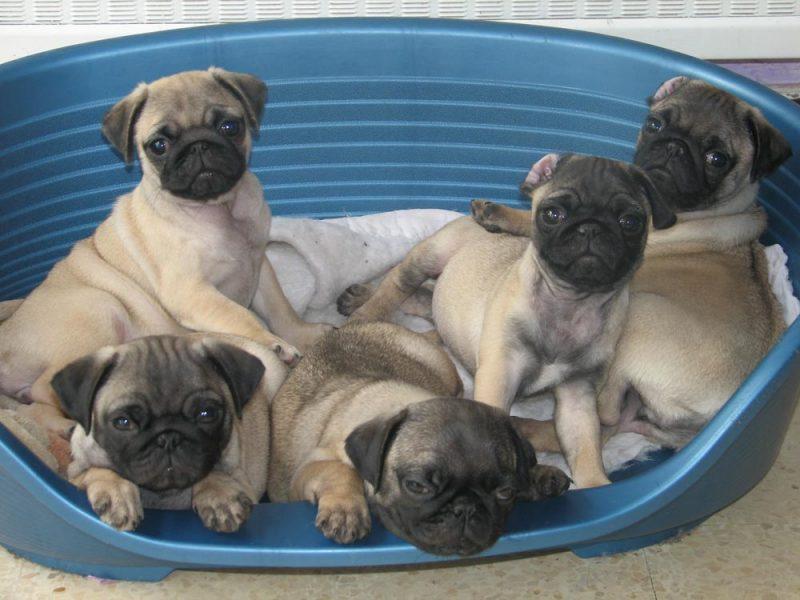 cachorros del Pug o Carlino