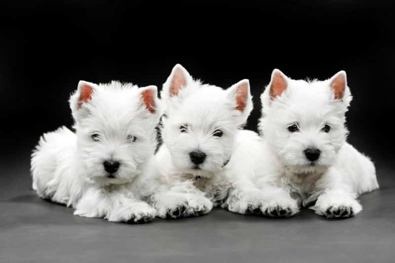 cachorros del west highland white terrier