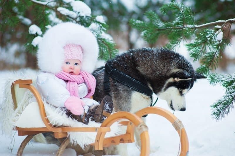 carácter del Husky Siberiano
