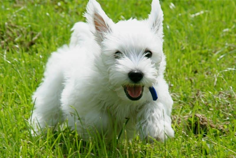 caracter del west highland white terrier