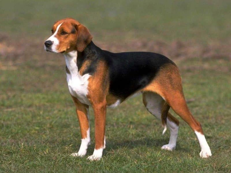 características de un perro beagle vista lateral en que destaca su pelaje y color