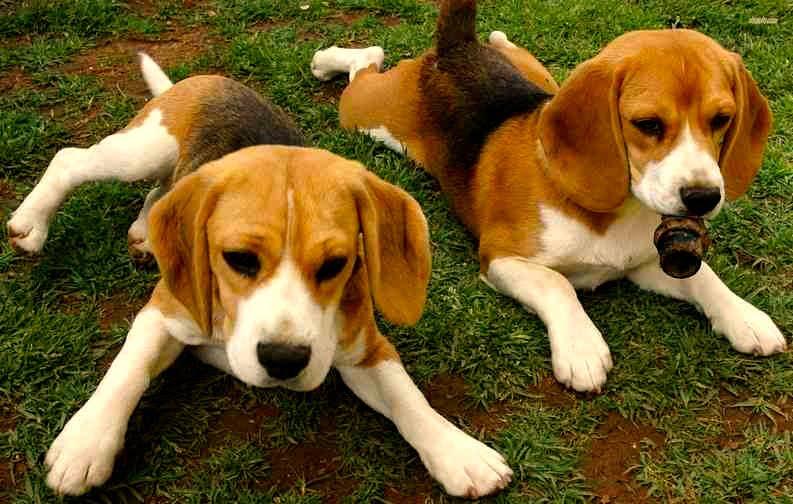 características del perro beagle 2 cachorros descansando sobre cesped