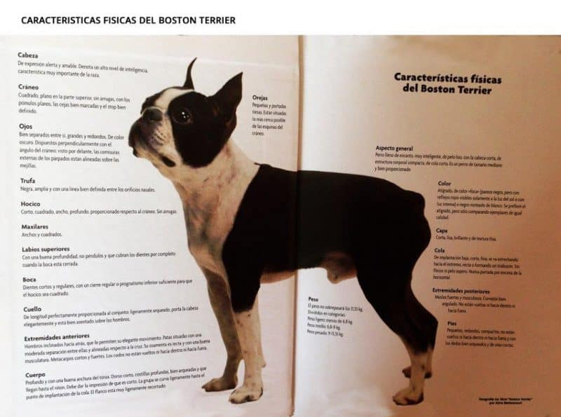 Características del Boston Terrier